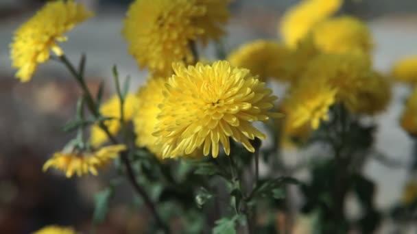 Beautiful pale yellow chrysanthemum flower in the garden