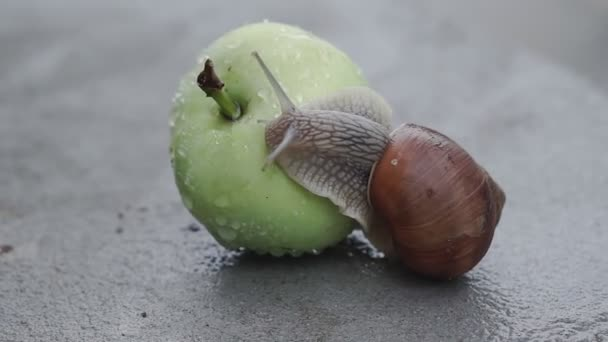 A snail is slowly crawling on a wet apple after the rain