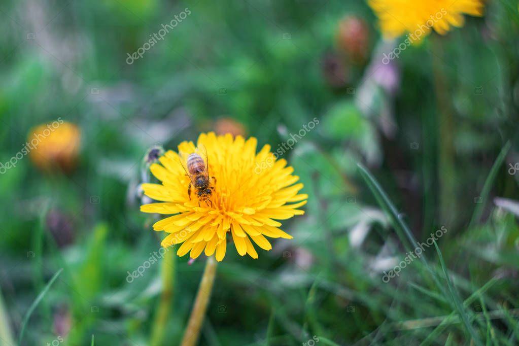 Bee on a yellow dandelion flower close up, macro photo