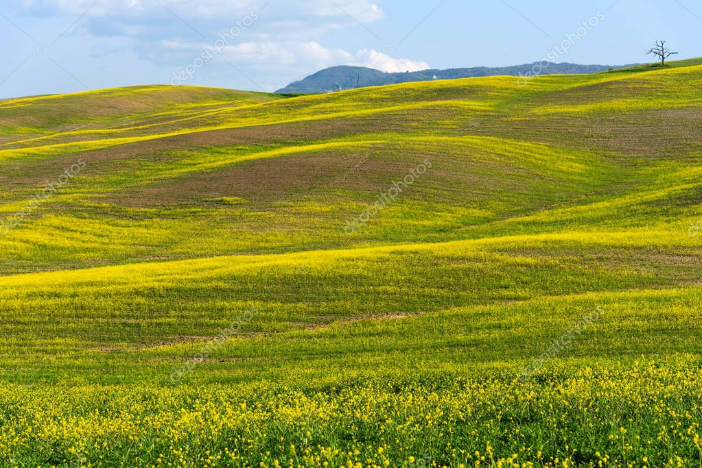 Beautiful farmland rural landscape, colorful spring flowers in Tuscany, Italy.