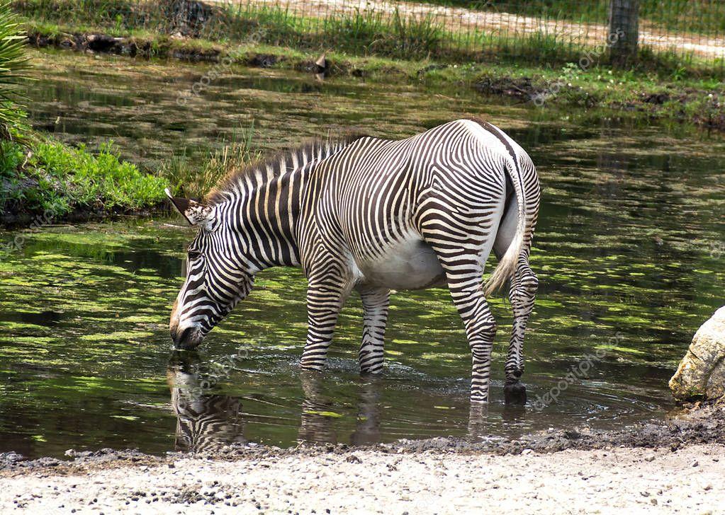 Single zebra Equus quagga drinking water