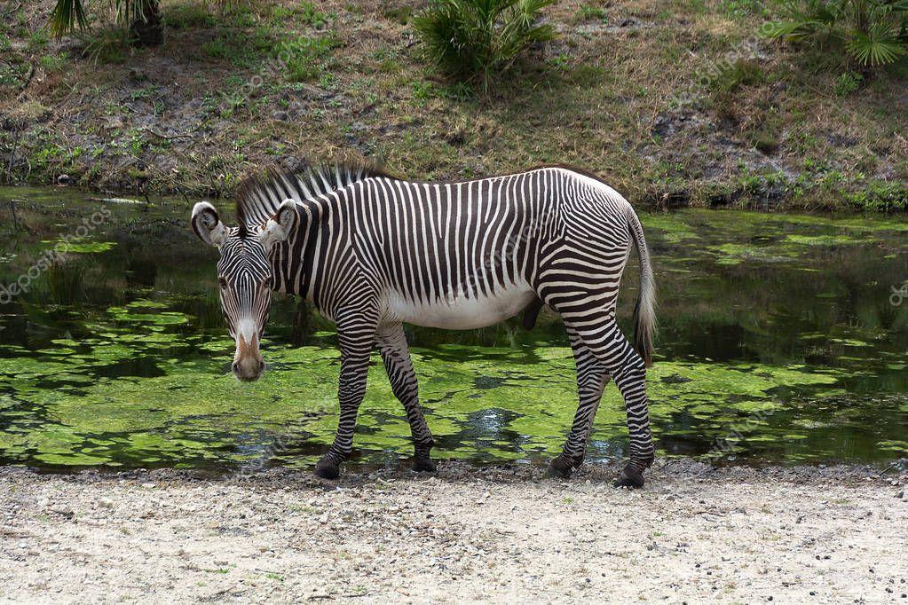 Single zebra Equus quagga at the waterhole