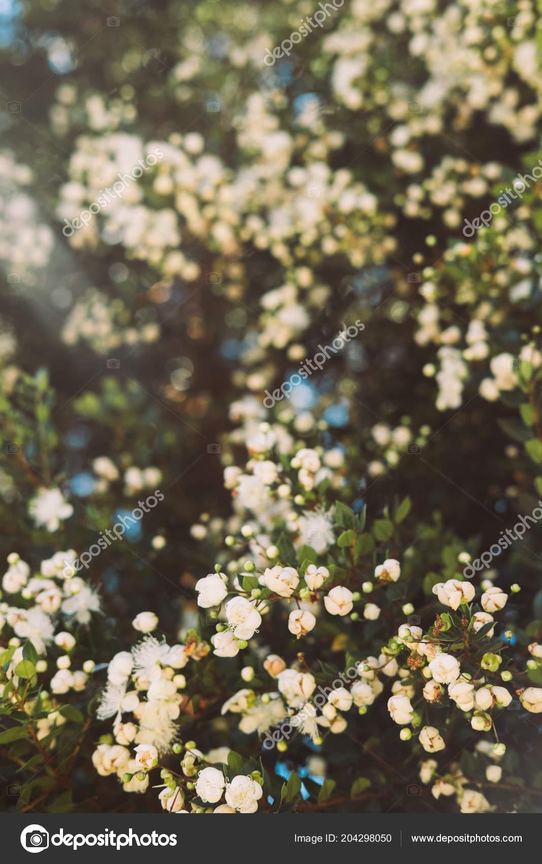 Small White Flowers Trees Stock Photo Ritatim 204298050