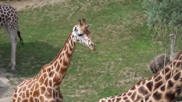 A Safari zsiráf
