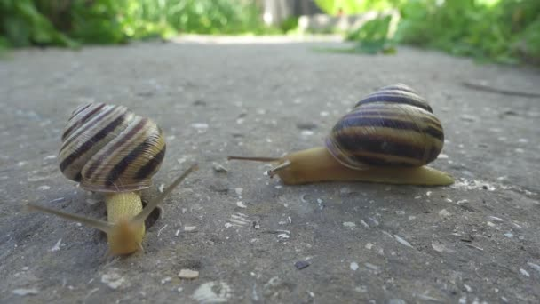 Two snails crawl on stone background. Cochleas creep on each other. close up view