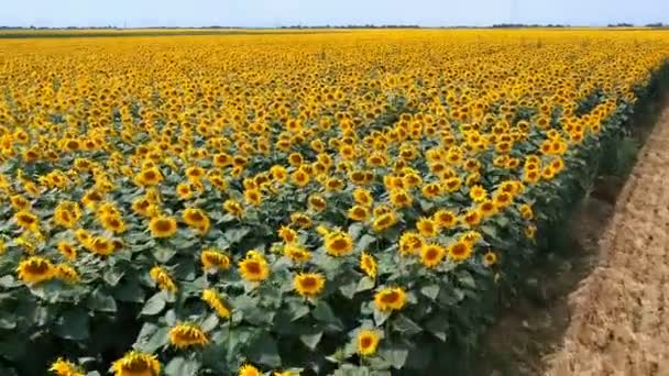Létání nad poli rozkvetlých slunečnic. Letecký pohled na pole slunečnice