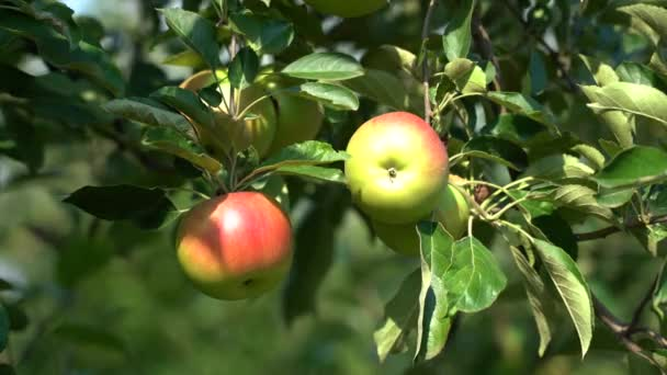 Ripe Juicy Red Apples on Tree Branch in Apple Orchard. Sun Shining on Appetizing Red Apples.