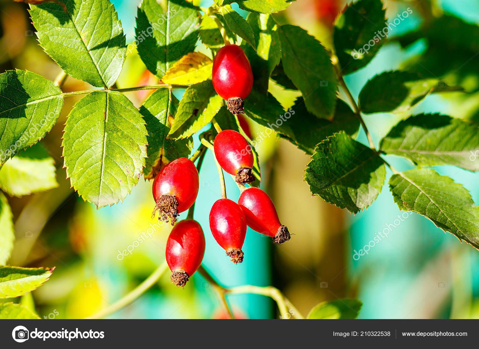Berühmt Hagebutte Baum Und Fruchtig Hagebutten Sammeln Hagebutte Frucht @IJ_83