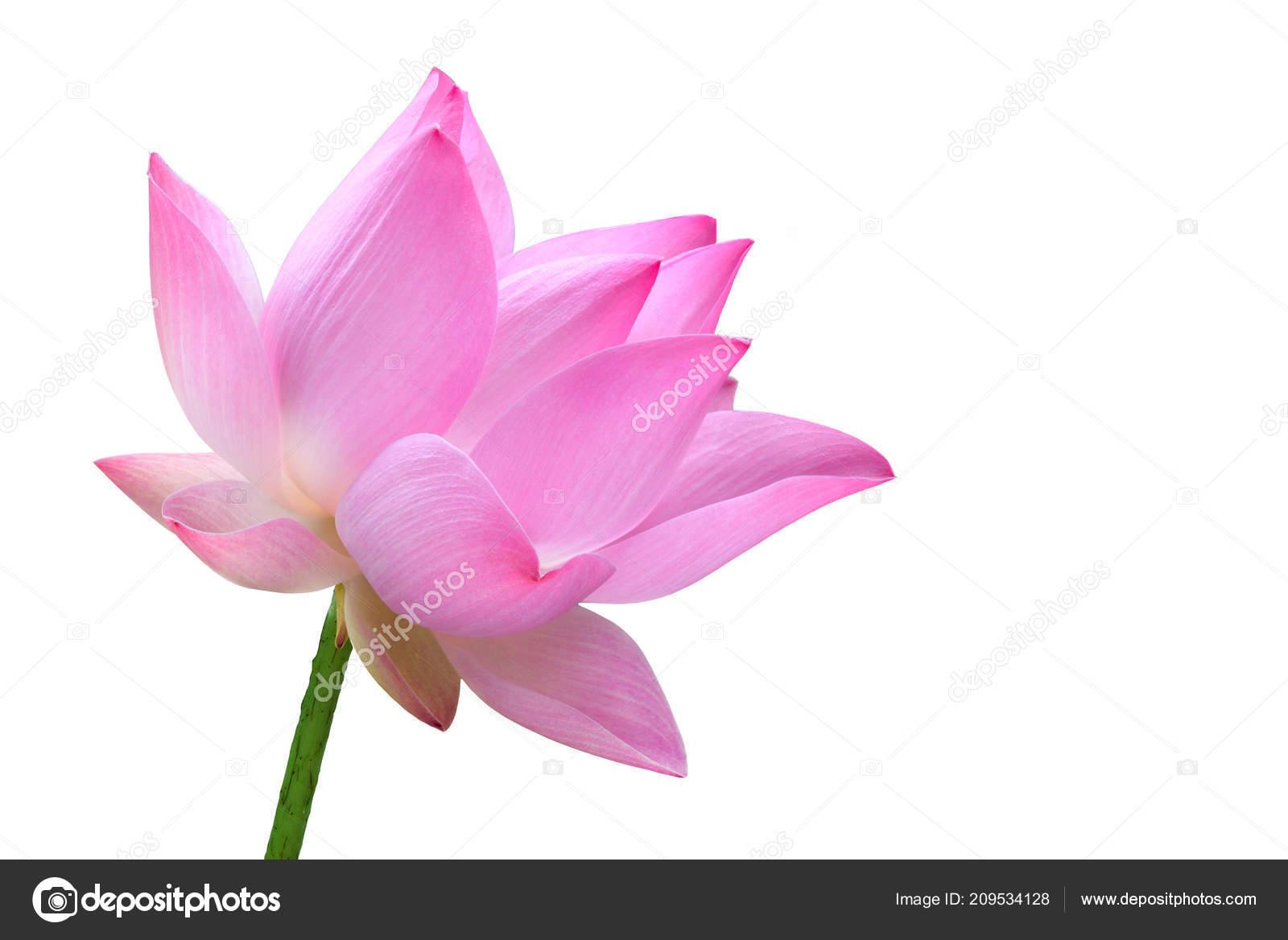 Close pink lotus flower high resolution isolated white background close pink lotus flower high resolution isolated white background stock photo izmirmasajfo