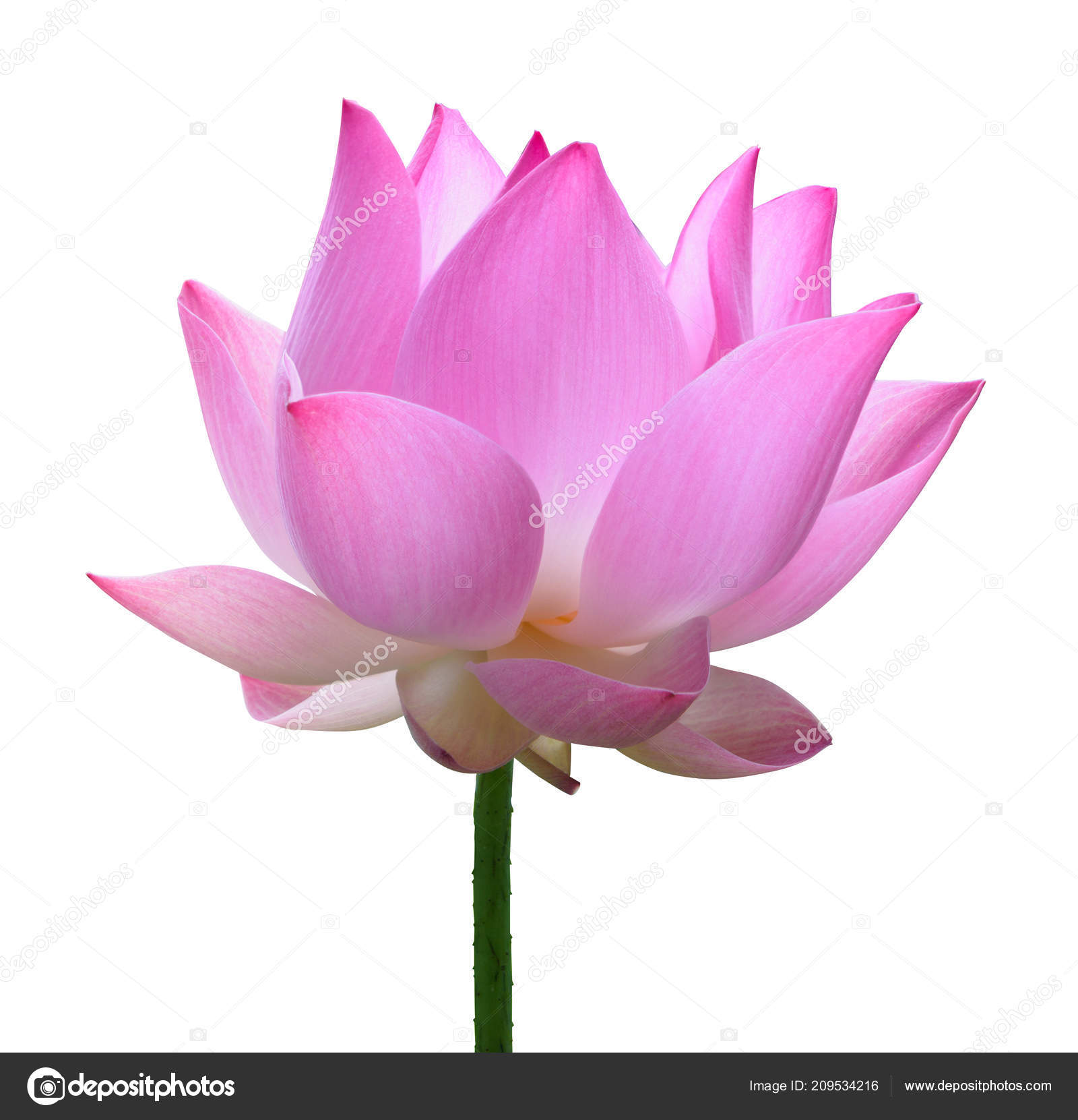 Close Pink Lotus Flower High Resolution Isolated White Background