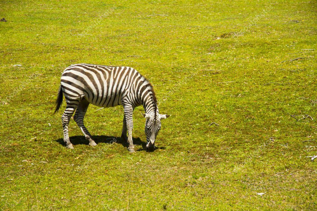 Zebra grazing on green field