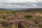 Heidekrautmoor - ein lila Teppich blühender Heidekrautteppiche erstreckt sich in einer atemberaubenden Landschaft im North york moors National Park, yorkshire, UK.