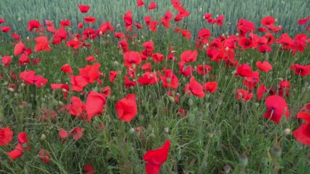 Piros mákvirágok mezeje lengett a könnyű szélben, méhek és poszméhek röpködtek körbe-körbe és beporozták a virágokat. 4k statikus videó