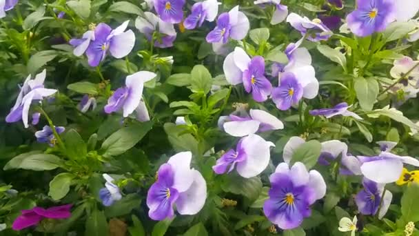 Close up of a lovely fresh white and purple flower with green leaves