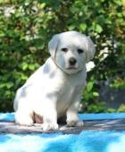 ein wenig gelber Labrador Welpe sitzend auf blauem Hintergrund