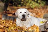 sladký pěkný žlutý labrador v parku na podzim