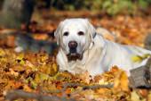 pěkné žluté labrador v parku na podzim