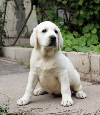the yellow labrador sitting in the park