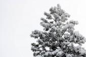 Jediné velké borovice Coulterova strom pokrytý v těžkého mokrého sněhu v zimě
