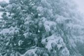 Detail jedné velké borovice Coulterova stromu na které se vztahuje těžkého mokrého sněhu na chladné zimní den