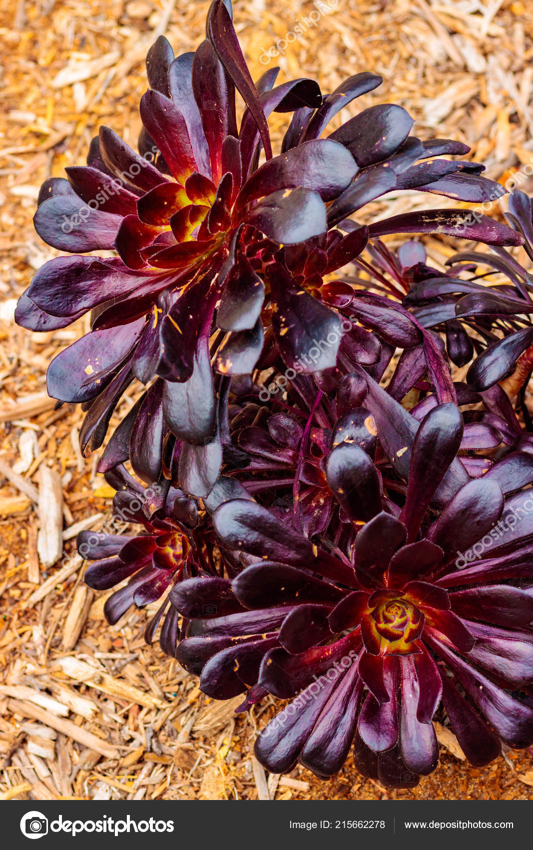 Bright Purple Magenta Leaf Yellow Pink Rosette Closeup Succulent Background Stock Photo C Maryrprentice 215662278