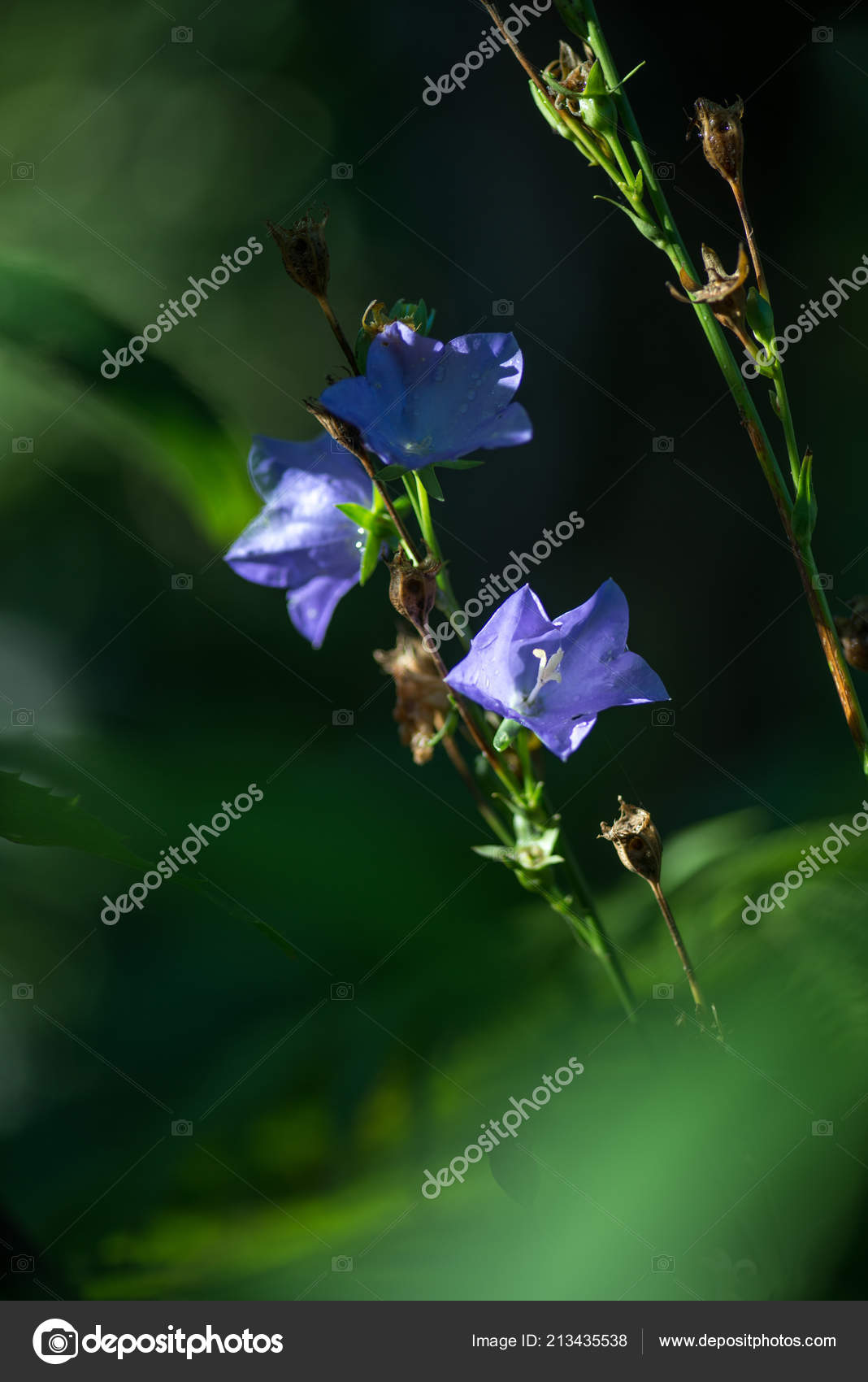 Blue bellflowers  They are wonderful spring and summer flowers
