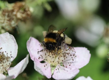 Closeup of Bombus terrestris, the buff tailed bumblebee or large earth bumblebee, collecting nectar from flower
