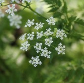 cow parsley or wild chervil (Anthriscus sylvestris), blooming during spring