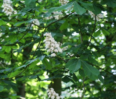 horse chestnutor conker tree (esculus hippocastanum) blooming in sprin