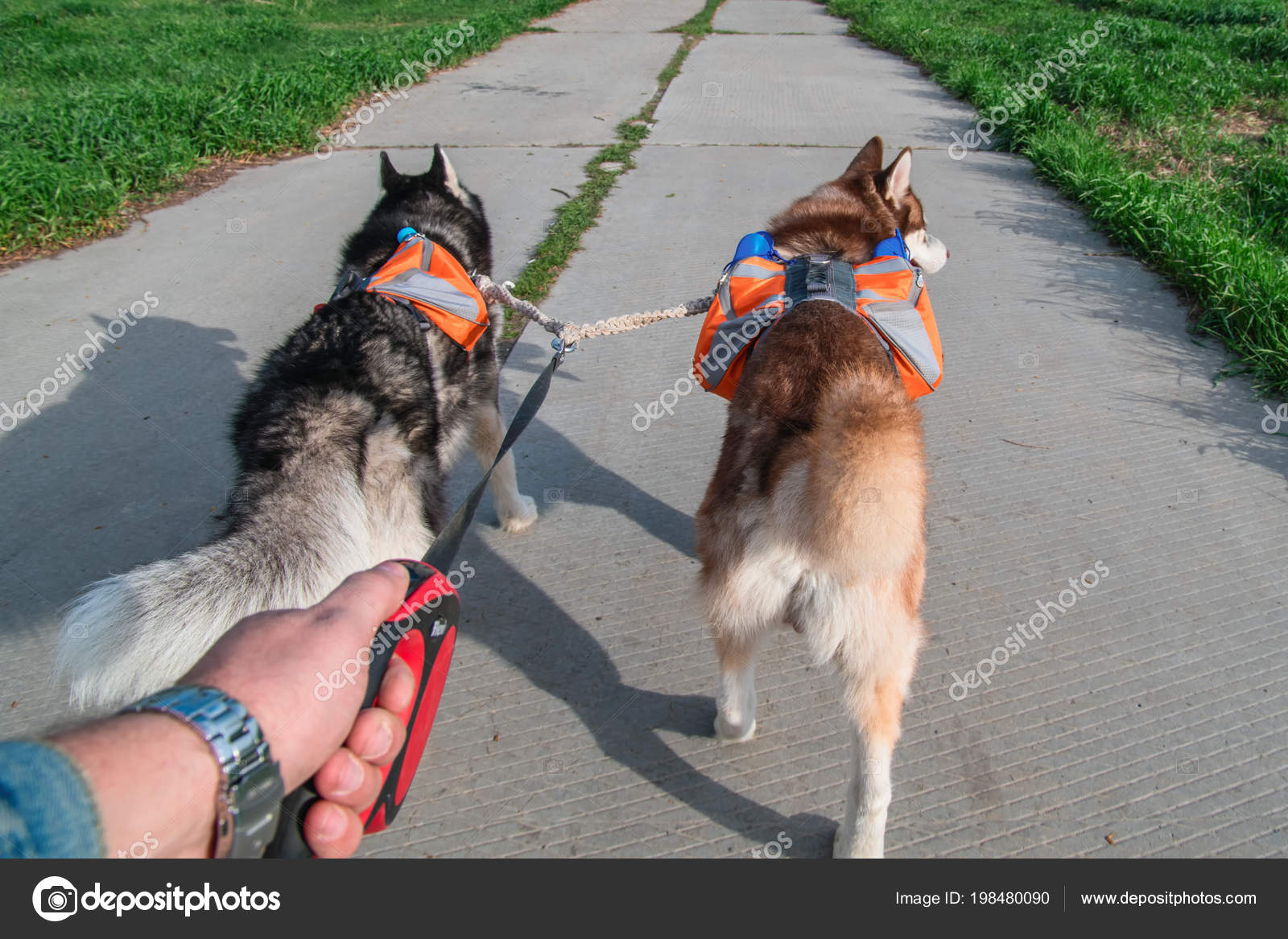 Man Walking Two Husky Dogs In Park Rear View Siberian Husky With