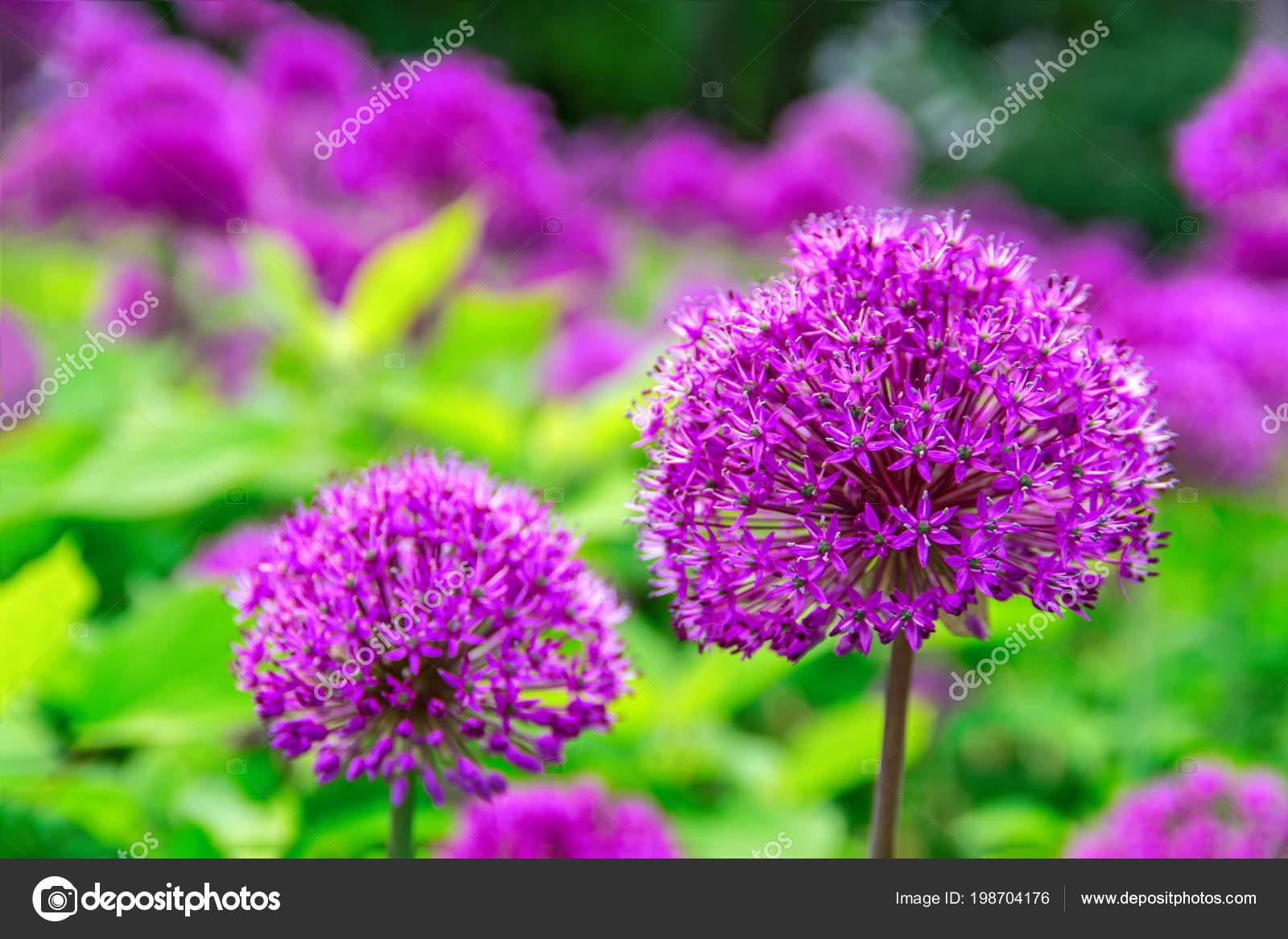 Beautiful flowers of onion allium purple colour garden nature beautiful flowers of onion allium purple colour grass garden nature spring globe like flower heads vibrant purple flower in full blossom izmirmasajfo