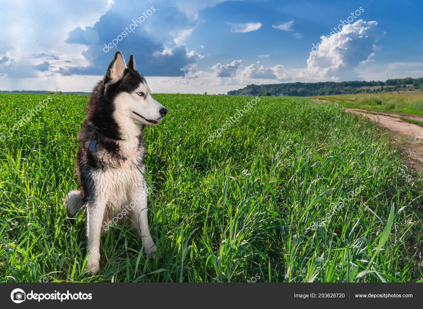Blue Eyed Siberian Husky Black And White Color Sitting On Bright