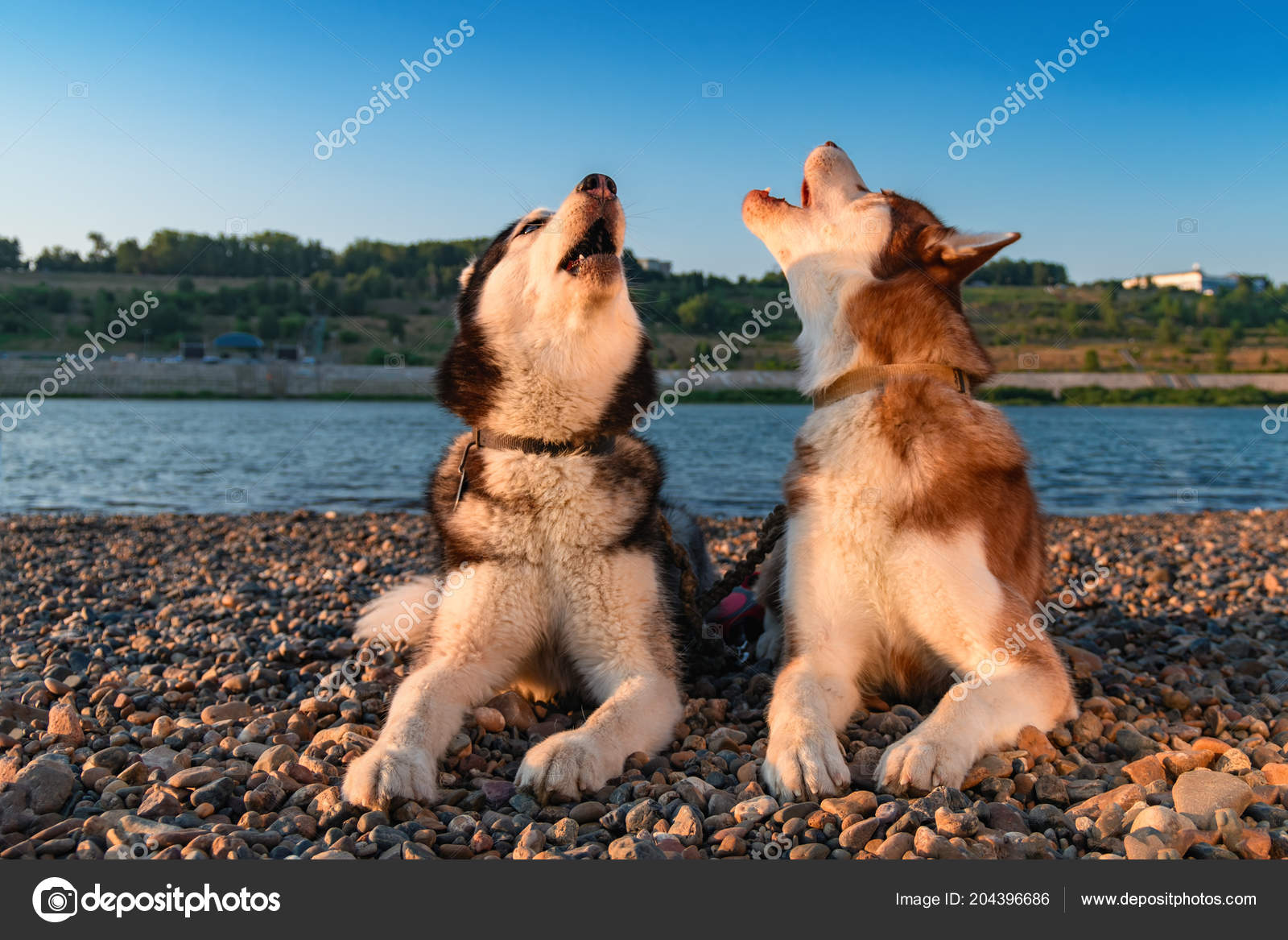 Two Dogs Howl Raising Their Muzzles Up Beautiful Siberian Husky