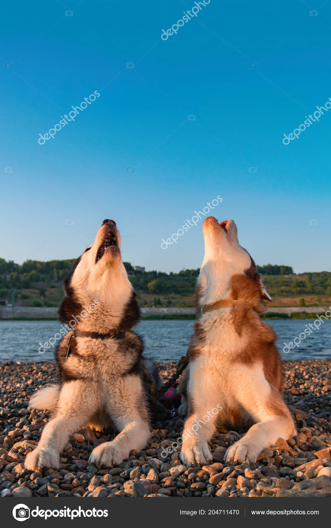 Two Husky Dogs Howl Raising Their Muzzles Up Beautiful Siberian