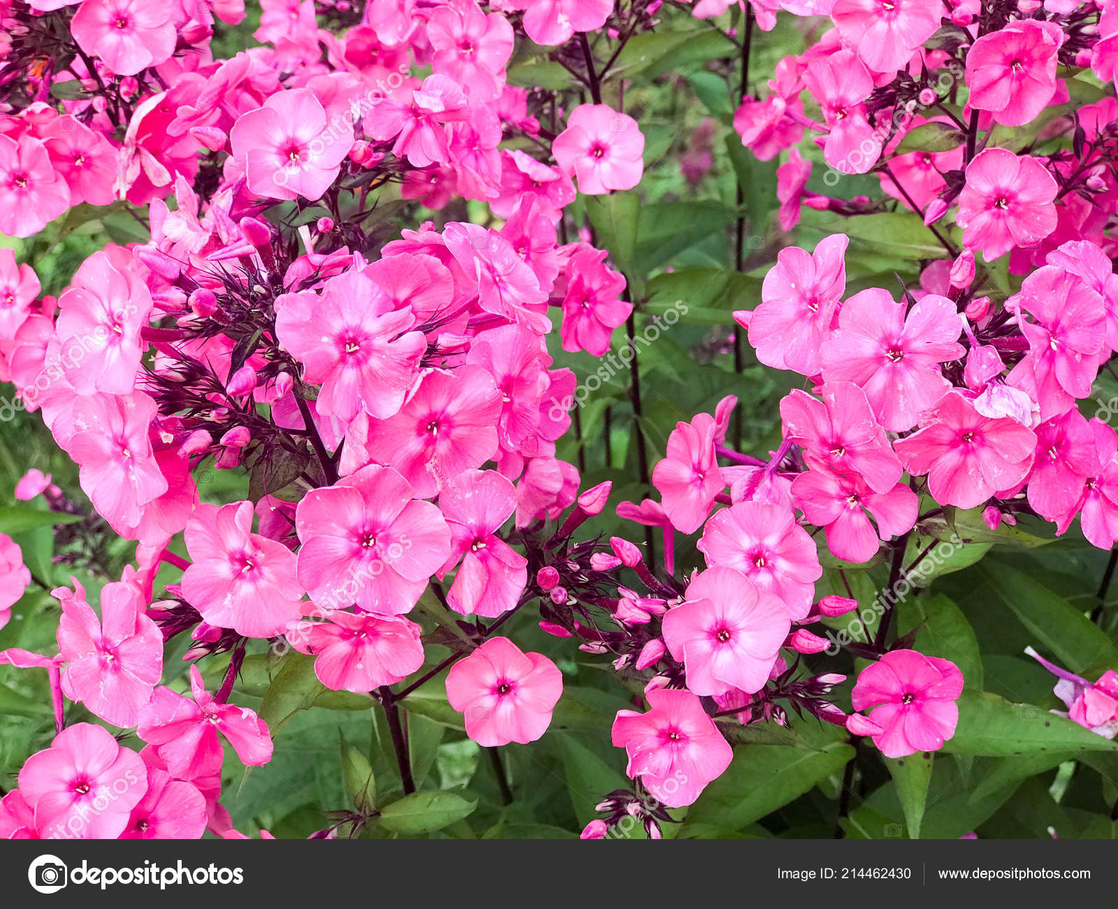 Plant With Small Pink Flowers And Large Leaves - Flowers Healthy