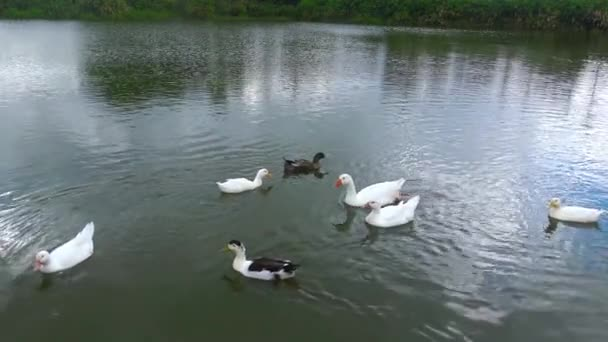 Ducks in a pond compete for food