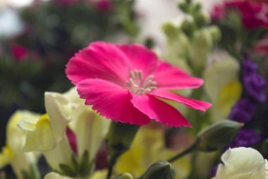 Beautiful macro photography to a pink summer flower with blurred multicolor flowers at background. Seasonal and natural concept