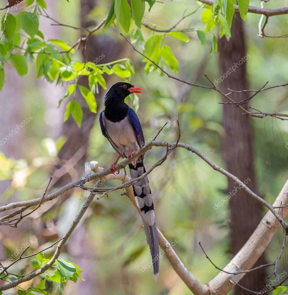 Red-billed blue magpie (Urocissa erythrorhyncha)  at Phukhieo wildlife sanctury national park, wildlife and plant conservation department of Thailand.
