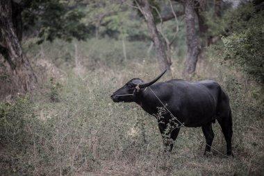 Thai buffalo is an animal that helps in farming.