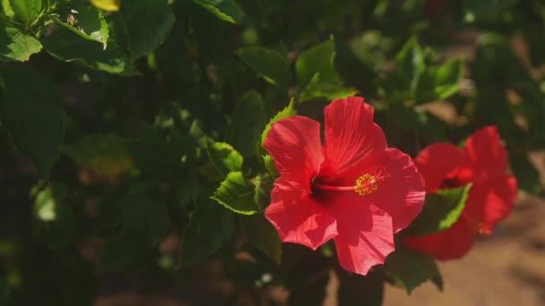 Amami-szigeti oshima, Kagoshima, a japán - szeptember 22 2018: annak a hibiscus erdő Kagoshima, Japán. fényképezőgép: Canon Eos 5d mark4