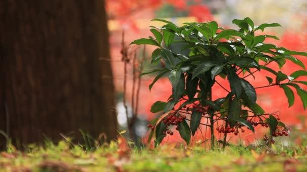 Červené listy na podzim japonského chrámu v Kjótu. Na podzim. Yamashiny ku Kjótského Japonsko - 11.30.2018: To s červenými listy v Bishamondou v okrese Yamashiny na podzim. fotoaparát: Canon Eos 5d mark4