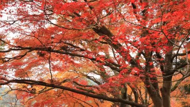 Červené listy na podzim v Bishamondou v okrese Yamashiny v Kjótu uprostřed záběru