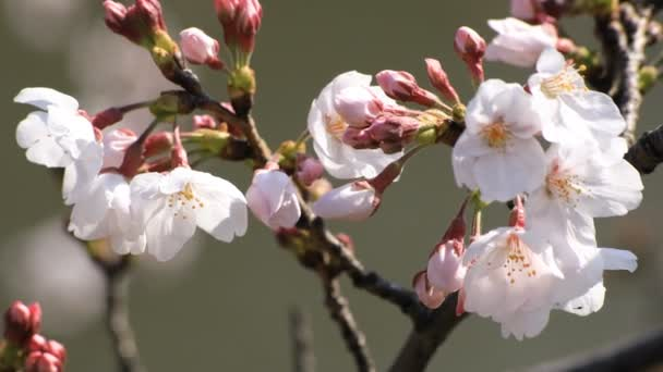 Kvetoucí třešeň v parku v Tokiu