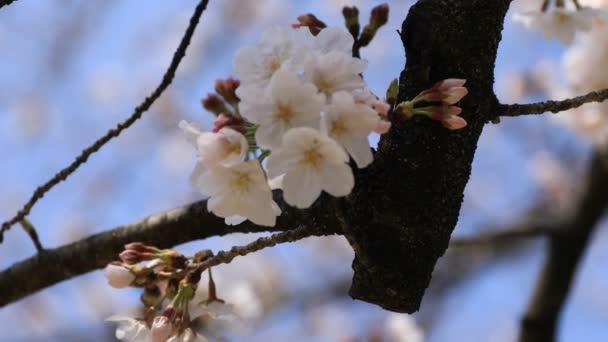 Třešňový květ v Koišikawa kourakuenském parku v Tokiu kapesní zaostřená
