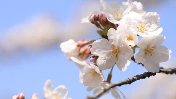 Cherry Blossom a Koishikawa kourakuen Park Tokióban kézi Vértes