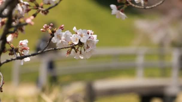 Cherry blossom at Koishikawa kourakuen park in Tokyo handheld closeup