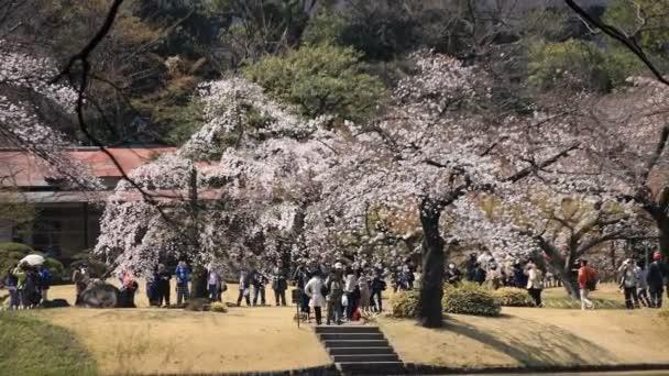 Třešňový květ v Koišikawa kourakuenském parku v Tokiu