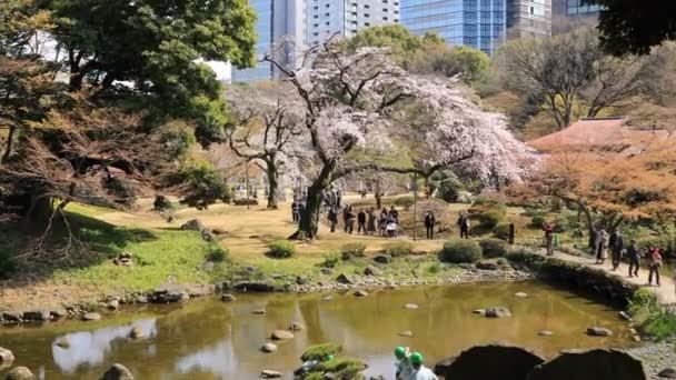 Třešňová květinka na Koišikawa kourakuenském parku v Tokiu-široký záběr