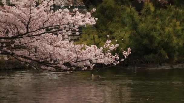 Kvetoucí třešeň v parku za dne