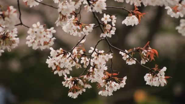 Cherry Blossom a parkban nappali felhős